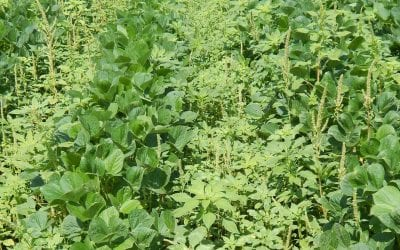 As spring greens up our farms, keep an eye out for Palmer amaranth